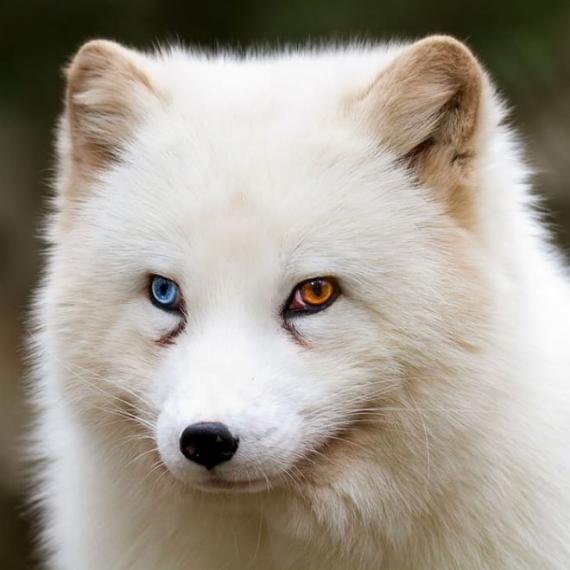 Occhi di due colori diversi stupendi scatti di cani e gatti - Occhi colori diversi ...