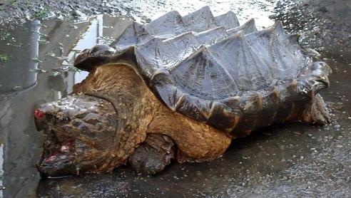 Ritrovata una tartaruga-alligatore: l'incredibile scoperta