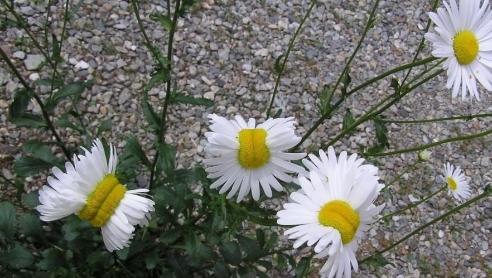 I fiori mutanti di Fukushima: frutto del disastro nucleare?