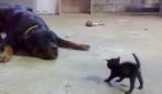Piccolo gattino impavido sfida un enorme Rottweiler