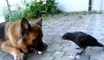 Il cane gioca con una pallina insieme al corvo