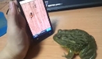 La rana che gioca con l'iPhone