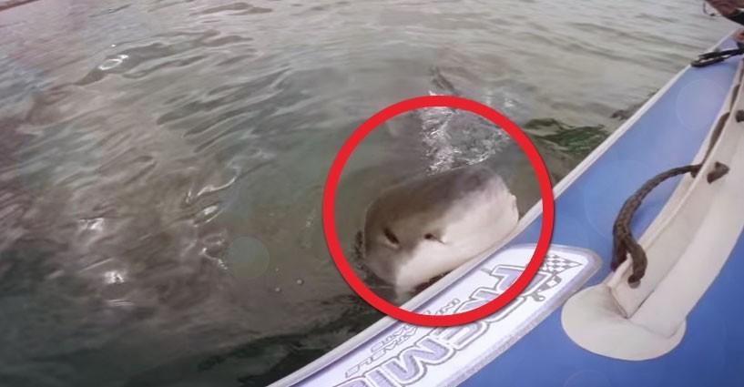 Un grosso squalo bianco attacca il gommone di una troupe for Il tuo account e stato attaccato