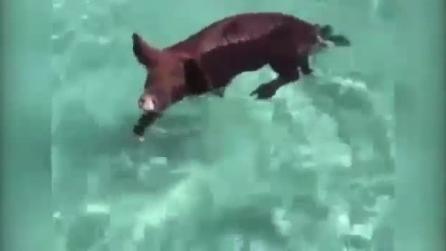 Bahamas, maialini nuotano nelle acque cristalline e accolgono così i turisti