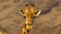 Due giraffe combattono fino alla morte nel deserto del Kalahari
