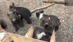 Cuccioli di orso, vengono allevati in una fattoria della Russia