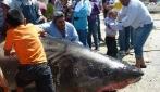 Catturano uno squalo bianco gigantesco: 6 metri di lunghezza e 1 tonnellata di peso