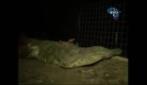 Migliaia di coccodrilli scappano dagli allevamenti, è panico in Sud Africa
