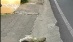 Un bradipo in pericolo, non riesce ad attraversare la strada