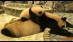 """Cucciolo di panda """"tormenta"""" la madre, che tenerezza"""