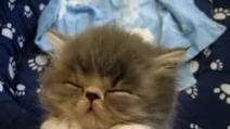 Un micino stanchissimo non riesce a stare sveglio