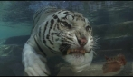 Una Tigre bianca del Bengala sott'acqua (fullHD)