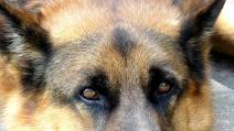 Cane disperato piange sulla tomba del padrone