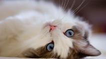 Il gatto che si traveste da conisglio