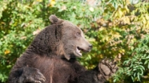 """L'orso più educato che c'è, saluta e fa """"ciao ciao"""""""