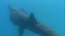 Invasione di squali sulle coste francesi