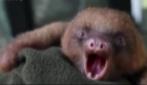 Il contagioso sbadiglio del bradipo Tuto