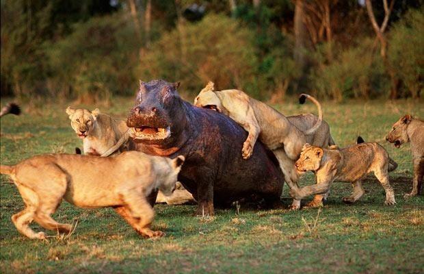 Ippopotamo distrugge l 39 orgoglio di un branco di leoni for Noleggio di cabine di istrice