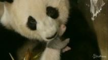 Cina, operatori aiutano mamma panda nell'allevamento di 2 gemelli