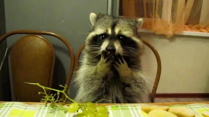 Un procione educato mangia l 39 uva seduto a tavola - Cane che mangia a tavola ...