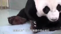 Che teneri: il piccolo panda può riabbracciare la mamma