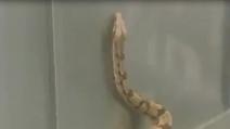 Serpenti e ratti nell'ascensore, uno scherzo da crepacuore!