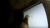 Così i piccioni riconoscerebbero le parole: il test è sbalorditivo