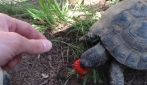 Tartaruga mangia una fragola