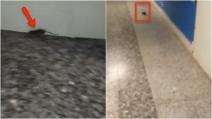 Taranto, un topo in ospedale si aggira tra i corridoi dei reparti