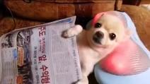 Il cagnolino che adora essere massaggiato