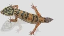 La rigenerazione della coda di un geco in 50 secondi