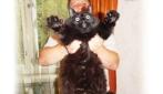 Il gatto grande come un pastore tedesco