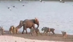 Elefantino contro 14 leonesse. Chi avrà vinto?