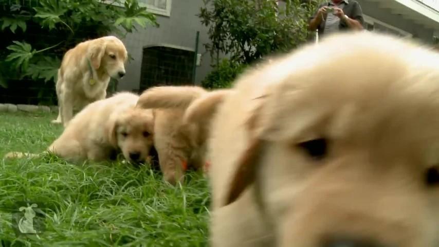 Cuccioli Di Golden Retriever Alla Scoperta Del Mondo