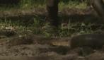 Si fa mangiare vivo da un anaconda, ecco il video