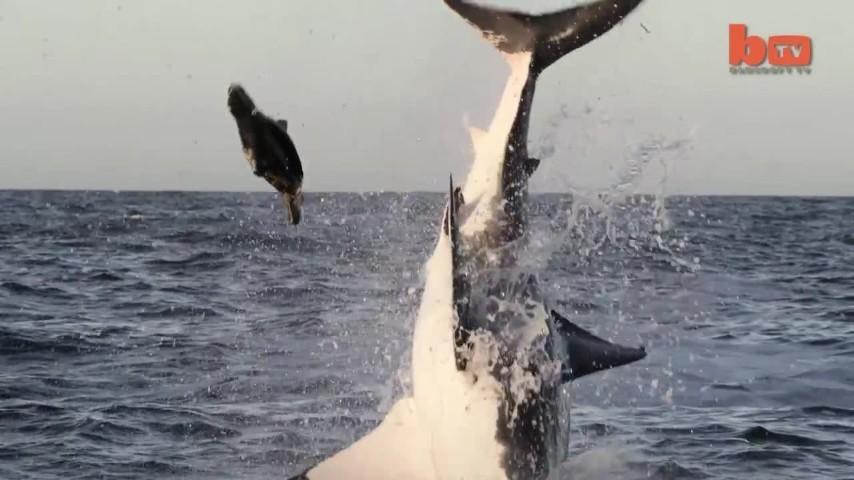 Sudafrica, lo squalo bianco attacca la sua preda con spettacolari evoluzioni
