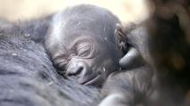 Mamma gorilla si prende cura del nuovo arrivato, la scena tenerissima allo zoo di San Diego