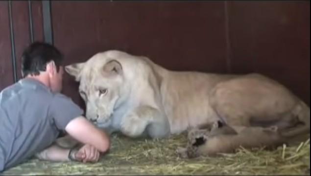 Si avvicina ai leoncini appena nati, la reazione della leonessa vi stupirà