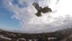 Attaccato da un'aquila, drone precipita rovinosamente