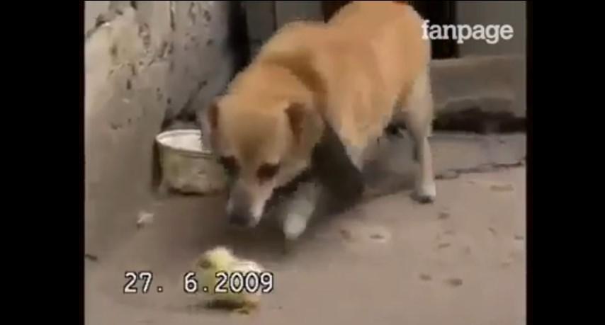 Fuori piove, il cane porta nella sua cuccia il pulcino infreddolito