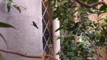 Filma con il suo iPhone 6 un colibrì e fa l'incredibile scoperta