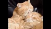 L'incredibile momento di tenerezza tra due gattoni gemelli. Quanto amore