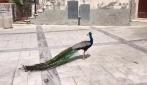 La triste storia del pavone solitario