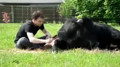 L'incredibile amicizia tra un uomo e un grosso toro, salvato da una morte atroce