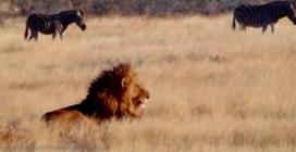 I feroci leoni aspettano le zebre, il promo di Juventus-Barcellona di una tv israeliana