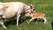 Mamma mucca e il vitello si ritrovano dopo essersi persi: un momento tenerissimo