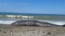 Bagheria, trovato un cucciolo di balena morto sulla spiaggia
