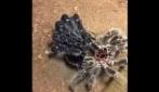 Avete mai visto la muta del ragno? Eccola in pochi secondi