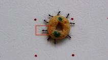 L'importanza del leader: così le formiche si orientano quando trasportano cibo