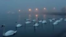 Il lago viene invaso dai cigni: niente di più romantico